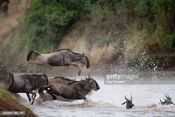 Wildebeest (Connochaetes taurinus) leaping into river, side view