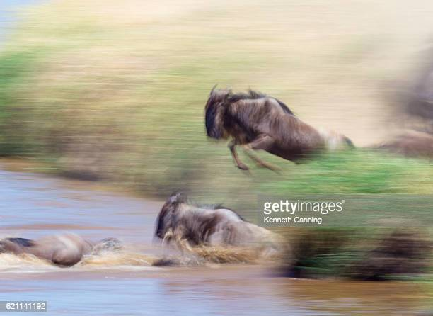 Wildebeest Migration across the Mara River, Motion Blur