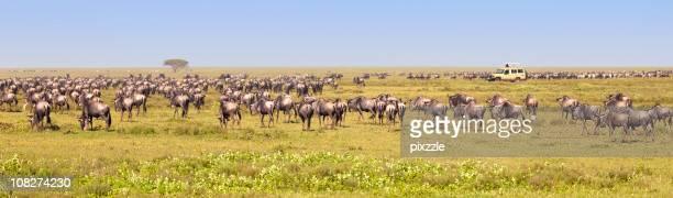 Wildebeest Migration by African Safari Truck