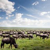 Wildebeest migration, Great Plains, Tanzania
