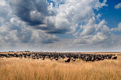 Wildebeest Migration- Masai Mara, Kenya