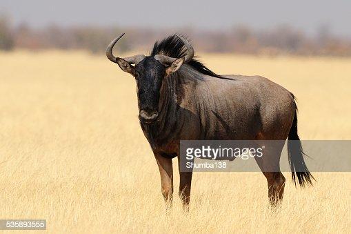Wildebeest : Stock Photo