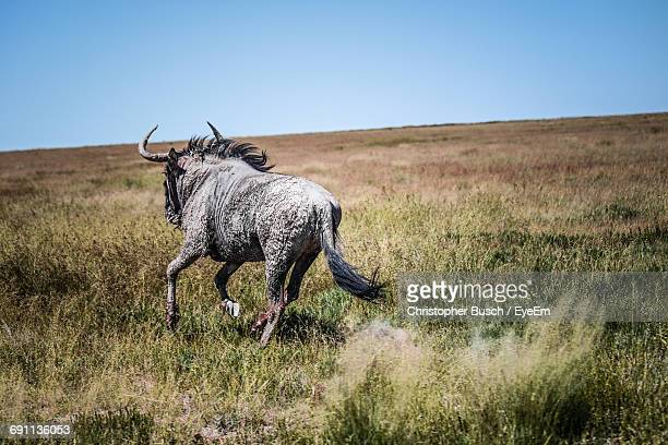 Wildebeest Running In Grassy Field Against Clear Sky At Forest