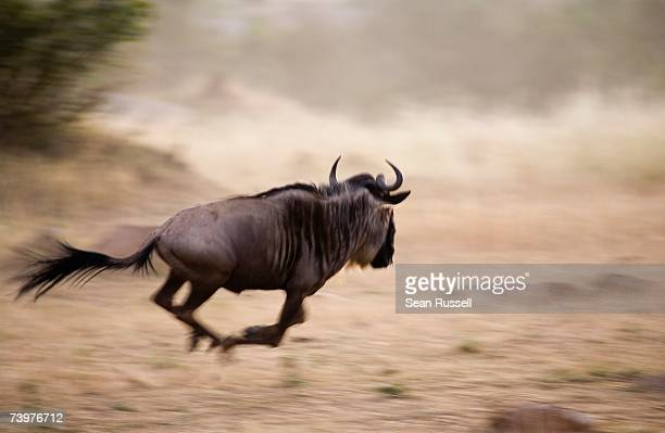 A wildebeest running