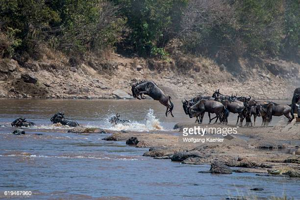Wildebeests also called gnus or wildebai jumping into the Mara River in the Masai Mara National Reserve in Kenya in order to cross it during their...