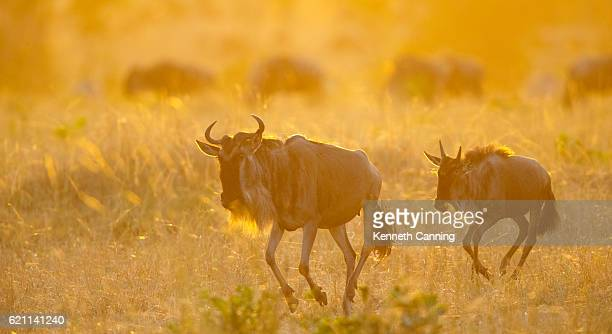 Wildebeests and Warm Morning Light in the Serengeti, Tanzania Africa