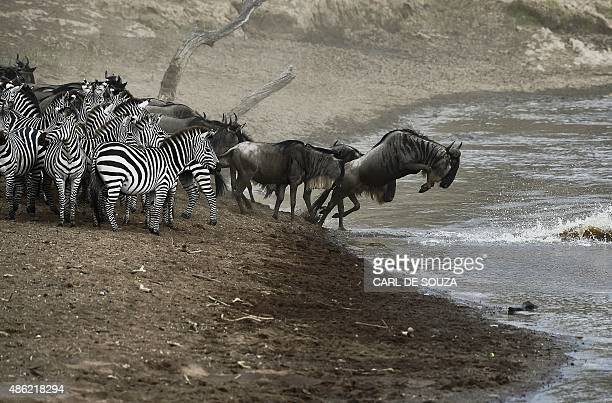 Wildebeests and zebras prepare to cross a river in Masai Mara on September 2 2015 Every year hundreds of thousands of wildebeest make the crossing...