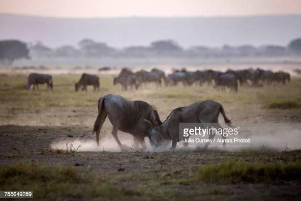Wildebeests fighting in Amboseli National Park, Kenya