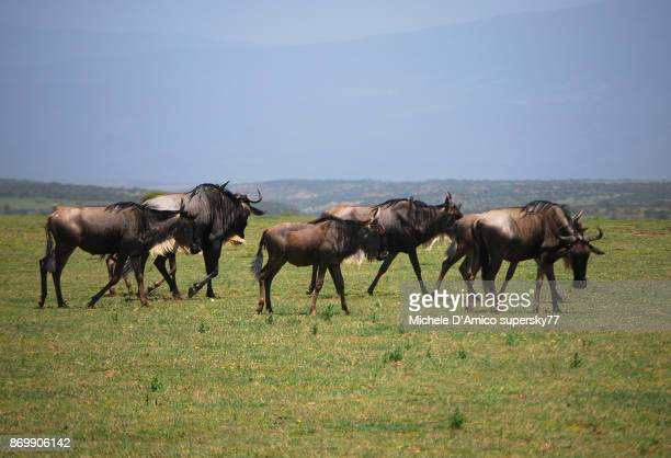 Wildebeests grazing in the Serengeti savannah