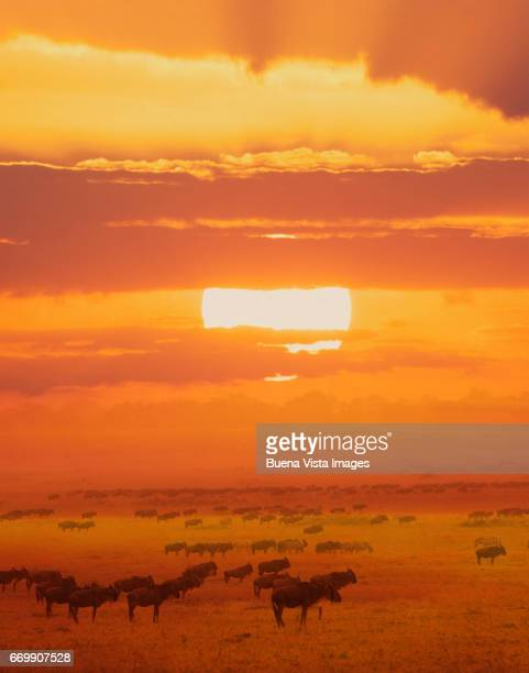 Wildebeests migration under large sun disk at sunset
