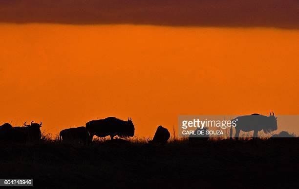 TOPSHOT Wildebeests stand in the savannah during the annual wildebeests migration in the Masai Mara game reserve on September 13 2016 / AFP / CARL DE...