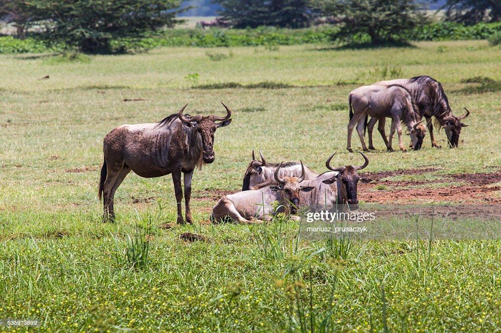 Wildebeests (Connochaetes Taurinus) andar na linha de Ngorongoro : Foto de stock