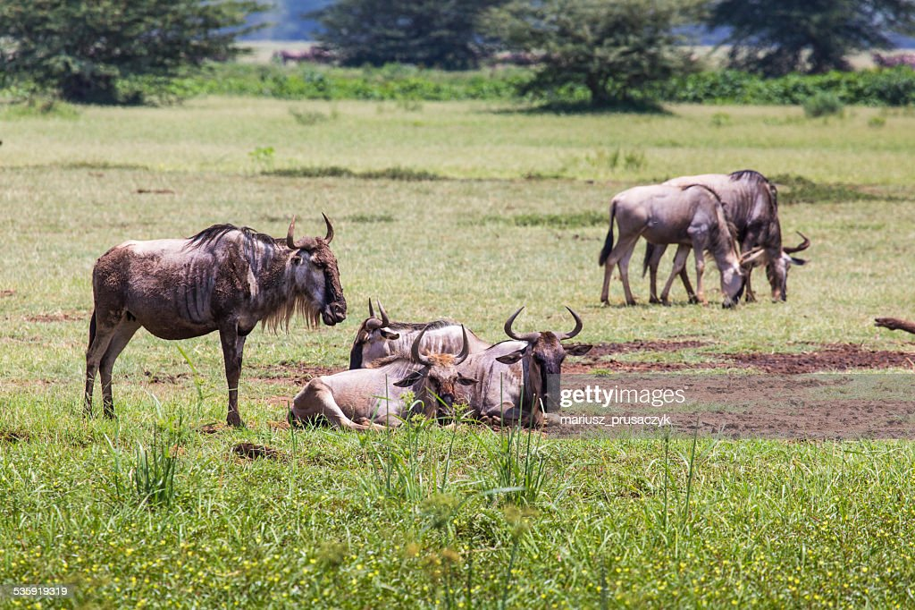 Wildebeests (Connochaetes Taurinus) Walking on Line, Ngorongoro : Stock Photo