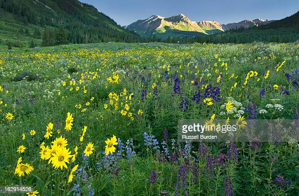 Wildflower field in Crested Butte, CO