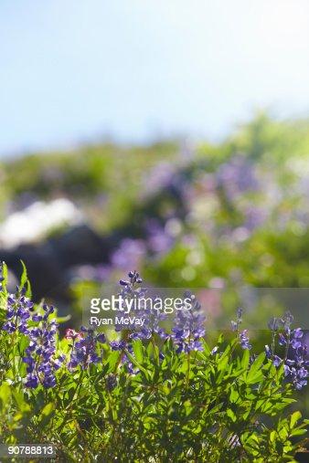 Wildflower in sunlight. : Stock Photo