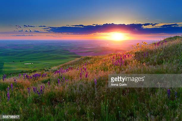 Wildflower meadow at sunset, Palouse hills