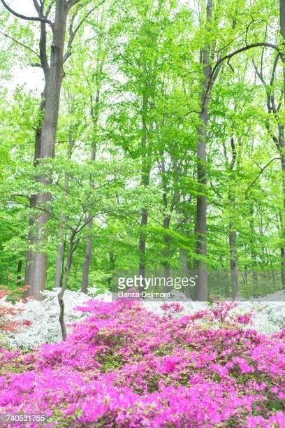 Wildflower meadow in Azalea Woods, Winterthur, Delaware, USA