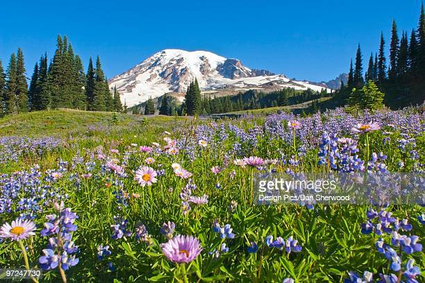 Wildflower meadow, Mount Rainier National Park, Washington, USA