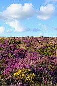 Wildflower meadow in bloom on Hardown Hill near village of Morcombelake in Dorset, England