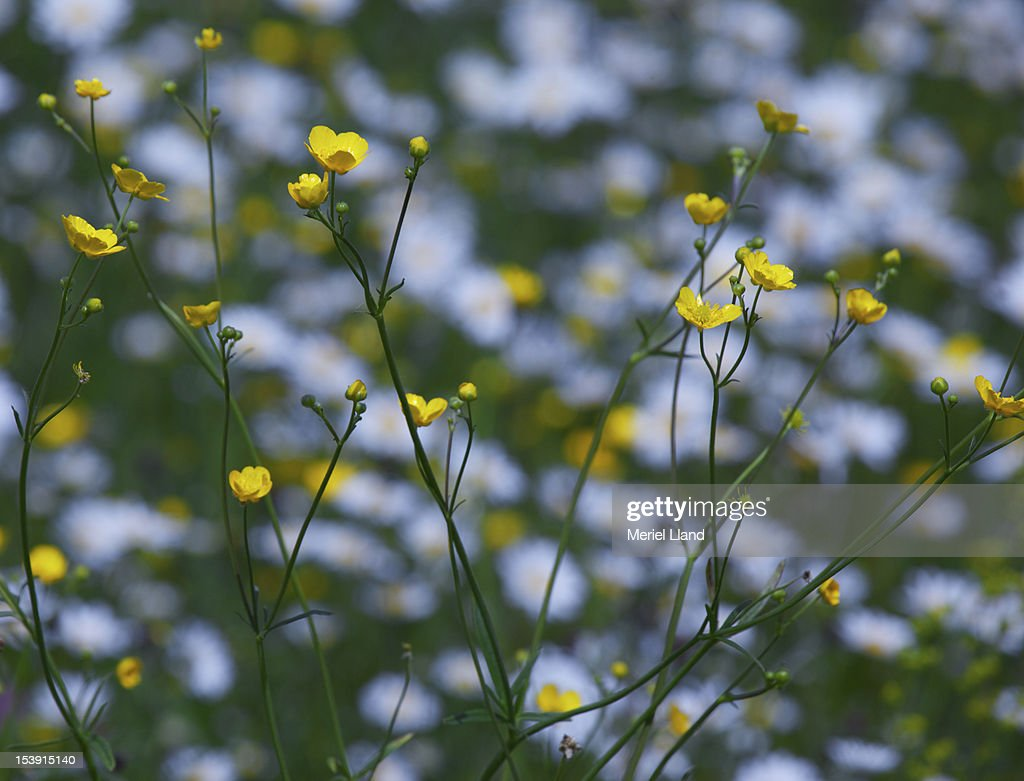 Wildflower meadow with buttercups. : Stock Photo