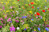 Colorful English wildflower meadow with poppies.