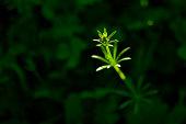 Wildflower. Spot lit. Black background