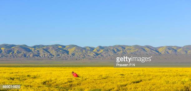 Wildflower super bloom in Carrizo plain national monument