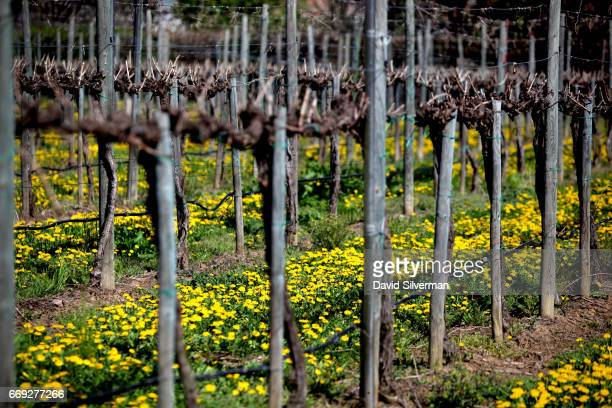Wildflowers abound between the stilldormant vines at the Acetaia Leonardi on March 27 2017 in the village of Magreta di Formigine in the Italian...