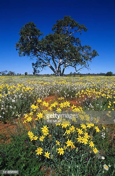 Wildflowers ( Scenecio gregorii ) and Chost Gum ( Corymbia appearrinjia ) near Kings Canyon, Northern Territory, Central Australia.
