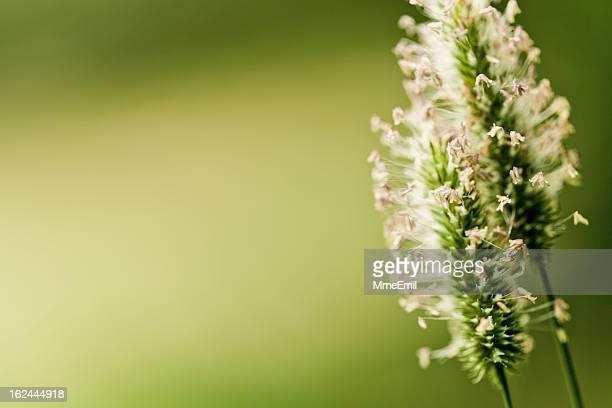 pollen de fleurs sauvages et