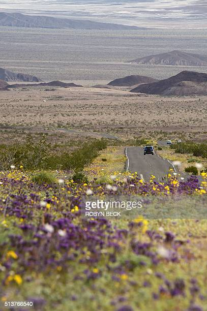 Wildflowers are seen a long a road in Death Valley National Park in Death Valley California March 3 2016 Unusally heavy rainfall in October trigged a...