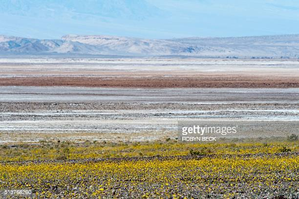 Wildflowers are seen near the salt flats in Death Valley National Park in Death Valley California March 3 2016 Unusally heavy rainfall in October...