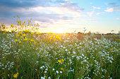 Beautiful wildflowers at sunset