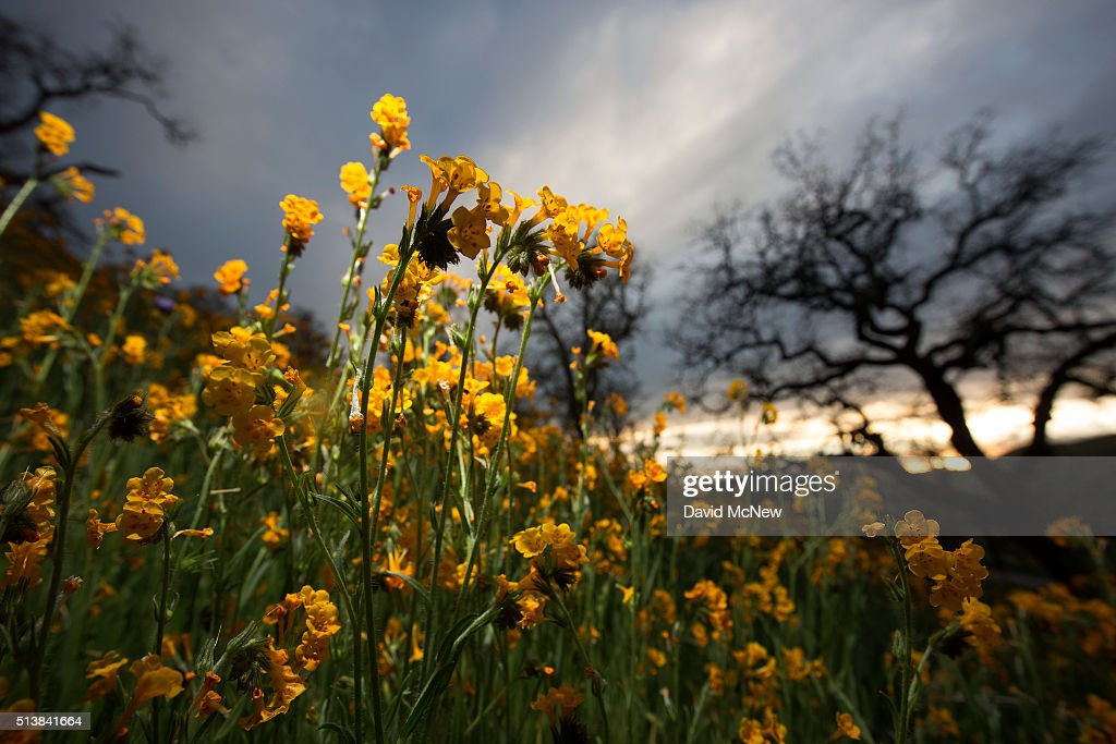 Wildflowers bloom among oak trees near California State Route 223 on March 4 2016 west of Tehachapi California Despite hopes that the major El Nino...