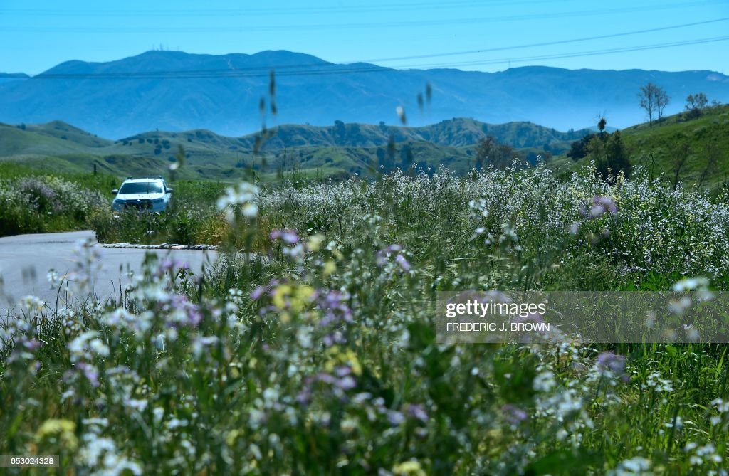 Wildflowers bloom at Chino Hills State Park in Chino Hills, California on March 12, 2017 amid an explosion of wildflowers blooming across southern California following this winter's rain after a se...