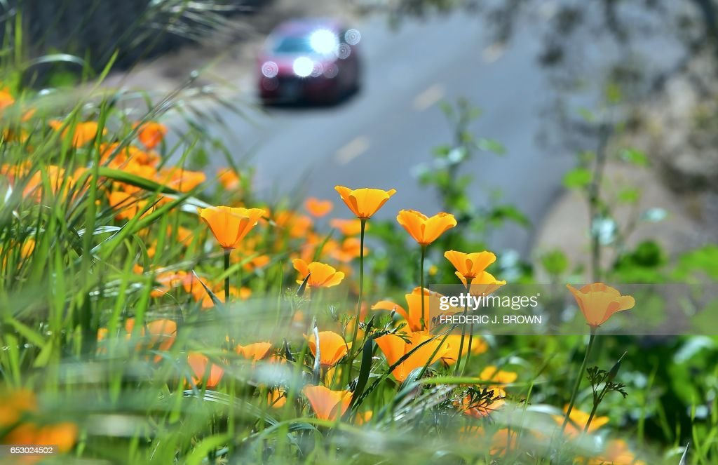Wildflowers bloom at Chino Hills State Park in Chino Hills, California on March 12, 2017 amid an explosion of wildflowers blooming across southern California following this winter's rain after a severe five-year drought. Seen here are California Poppy, (Eschscholzia californica) a flowering plant in the Papaveraceae family, native to the United States and Mexico which grows from Southern Washington state to Baja California. /