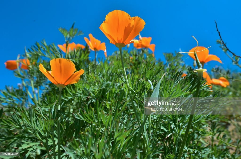 Wildflowers bloom at Chino Hills State Park in Chino Hills, California on March 12, 2017 amid an explosion of wildflowers blooming across southern California following this winter's rain after a severe five-year drought. Seen here are California Poppy (Eschscholzia californica), a flowering plant in the Papaveraceae family, native to the United States and Mexico which grows from Southern Washington to Baja California. /