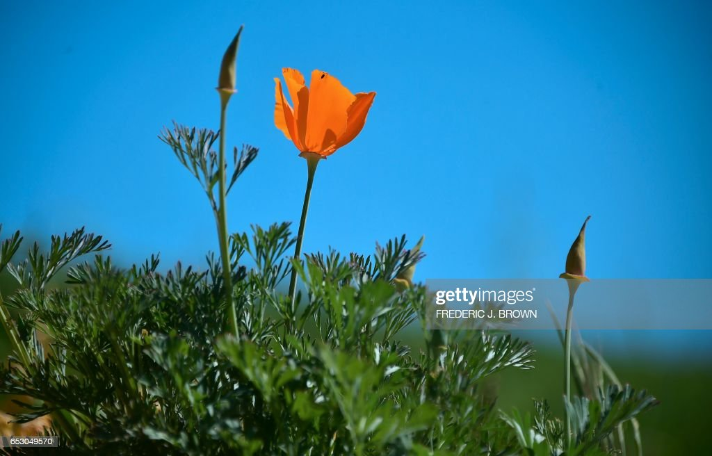 Wildflowers bloom at Chino Hills State Park in Chino Hills, California on March 12, 2017 amid an explosion of wildflowers blooming across southern California following this winter's rain after a severe five-year drought. Seen here is the California Poppy (Eschscholzia californica), a flowering plant in the Papaveraceae family, native to the United States and Mexico which grows from Southern Washington to Baja California. /