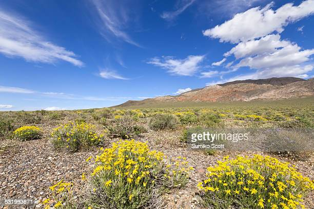 Wildflowers blooming in spring at Death Valley.