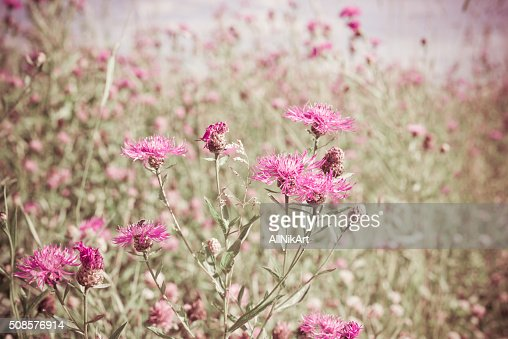 Wildflowers Cornflowers. Vintage floral background. Toned image in retro style : Stockfoto