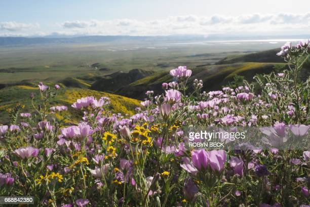 Wildflowers cover this hills of the Tremblor Range in Carrizo Plain National Monument near Taft California during a wildflower 'super bloom' April 12...