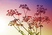 Wildflowers Cow Parsley ( Anthriscus Sylvestris ) at sunrise.