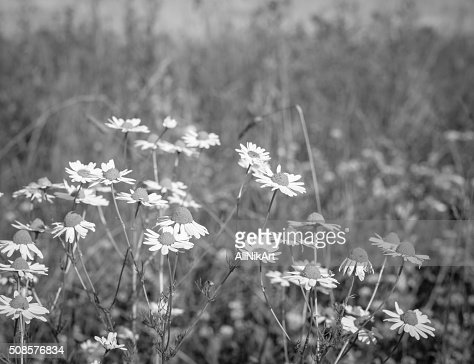 Wildflowers Daisies. Vintage floral background. Toned image in retro style : Stock Photo