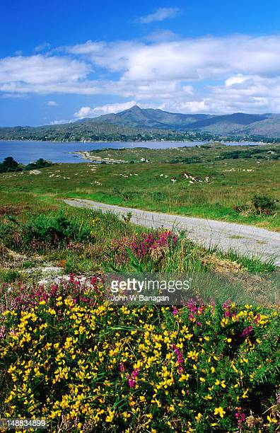 Wildflowers, gorse and heather with Sugarloaf mountain in background.