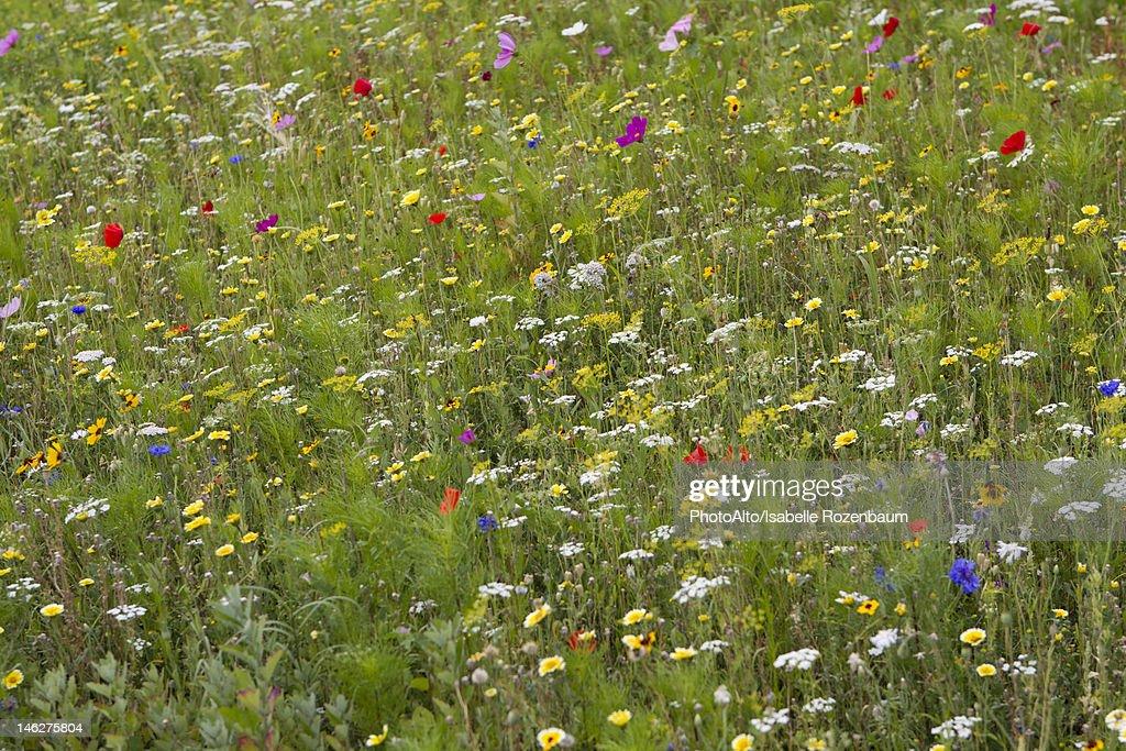 Wildflowers growing in meadow, full frame