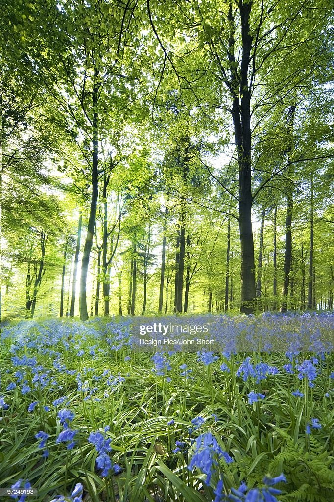 Wildflowers in a forest of trees, Yorkshire, England : Stock Photo