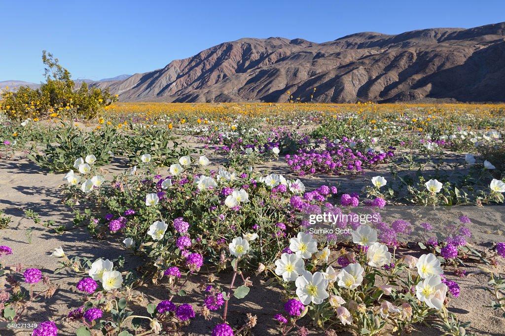 Wildflowers in Anza Borrego Desert, California