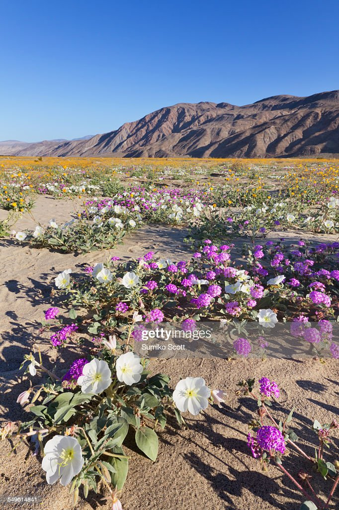 Wildflowers in Anza Borrego Desert State Park, CA