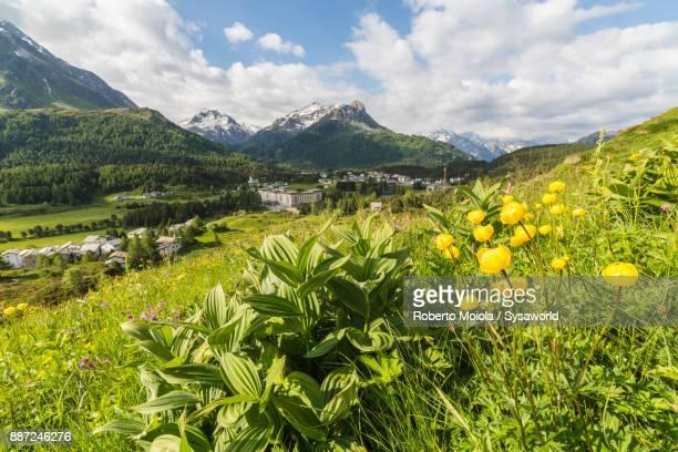 Wildflowers in bloom, Maloja, Switzerland