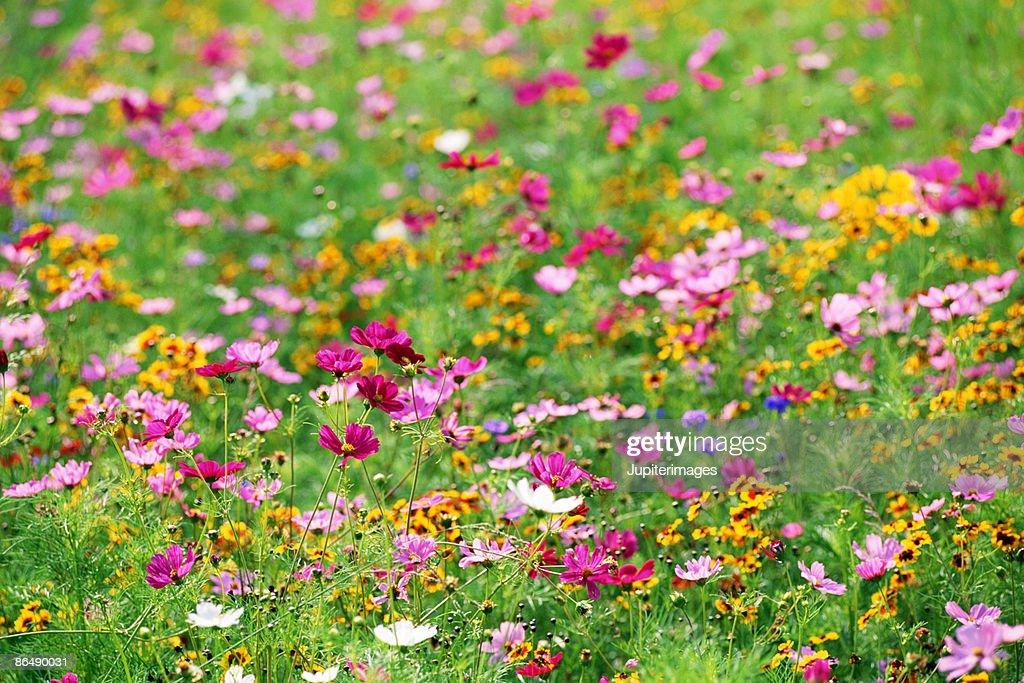 Wildflowers in meadow : Stock Photo